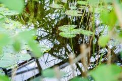 Gräsplansidor på vatten i solljus Naturlig bakgrund för tropisk växt arkivbild