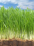 gräsrötter Arkivfoton