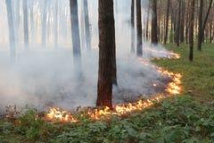 Gräsrotbrand i en pinjeskog Fotografering för Bildbyråer