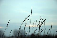 grässilhouette Fotografering för Bildbyråer