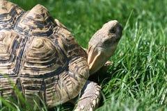 grässköldpadda Royaltyfri Foto