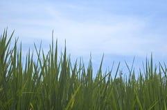 grässky Arkivbilder
