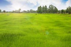 Grässlätt för bonden som arbetar i risfältet Arkivfoton