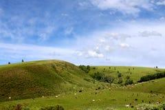 Grässlätt och cattles Royaltyfria Bilder