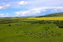 Grässlätt och cattles 2 Arkivfoton