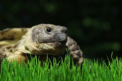 Grässlättsköldpadda royaltyfri bild