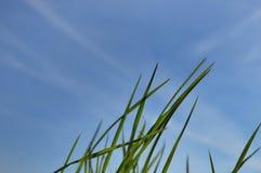 Grässpetsar mot himlen Fotografering för Bildbyråer