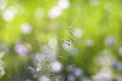grässpikelet Royaltyfri Fotografi