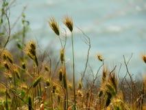 Grässpikelets Växterna i bakgrunden av floden Royaltyfria Bilder