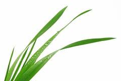 Grässtrå på vit bakgrund Royaltyfri Foto
