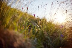 Grässtrå som svänger i vinden i clona för solnedgångmakrofoto arkivfoton