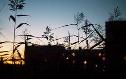 Grässtrå som svänger i vinden i closeupen för solnedgångmakrofoto Spikelets mot solen i fältet som är lantligt royaltyfri foto