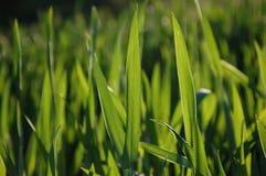 Grässtrån Royaltyfria Bilder