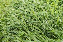 Grässtrån med daggsmå droppar från slut Arkivbild