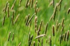 Grässtrån som vinkar i vinden arkivbilder
