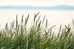 grässugrör Royaltyfri Bild