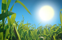grässun Arkivfoto