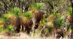 Grästräd också som är bekanta som svarta pojkar i Austraen royaltyfri bild