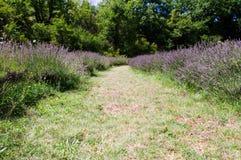 Gräsväg mellan lavendelfälten Arkivfoto
