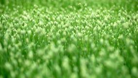 Gräsväxt av släktet Trifolium på fältet stock video
