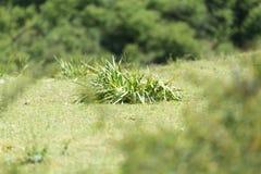 Gräsväxt med stora sidor Royaltyfria Foton