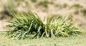 Gräsväxt med stora sidor Arkivfoton