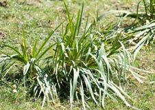 Gräsväxt med stora sidor Fotografering för Bildbyråer