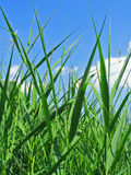 gräsvasser Arkivbild