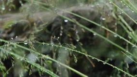 Gräsvattendroppe stock video