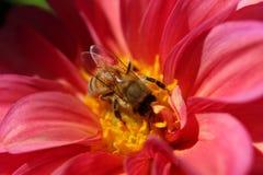 Gräva för nektar royaltyfri bild