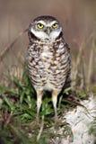 gräva florida owl royaltyfri foto
