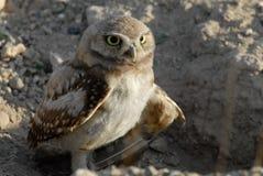 gräva injuried owlvinge Royaltyfri Bild