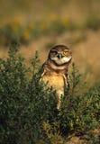gräva nyfiken owl Royaltyfria Bilder