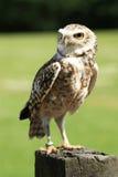 gräva owl Royaltyfri Bild