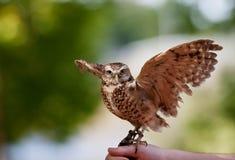 gräva owl Royaltyfria Foton