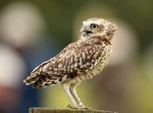 gräva owl Fotografering för Bildbyråer