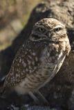 gräva owl Royaltyfria Bilder