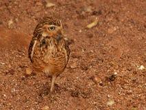 gräva owl Arkivfoto