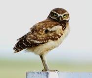 gräva owl Royaltyfri Fotografi