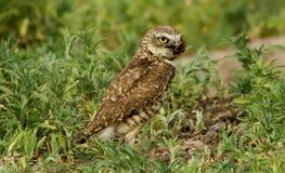 gräva owl Arkivbilder
