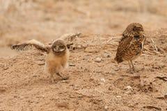 Gräva Owl Chick Arkivbilder
