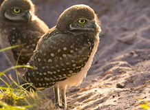 Gräva Owl Fledglings Royaltyfri Fotografi