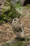 gräva owlprofil Arkivfoto