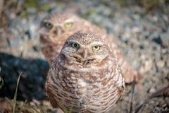 gräva owls fotografering för bildbyråer