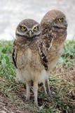 gräva owls royaltyfri fotografi