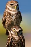 gräva owls royaltyfri bild
