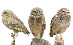 gräva owls tre Royaltyfri Fotografi