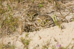 gräva owlspar Royaltyfria Foton