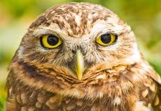 gräva owlstående Royaltyfria Foton