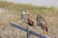 gräva par för uddkorallflorida owls Arkivbild